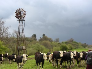 tewkesbury cattle