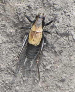 Beetle with long hind legs